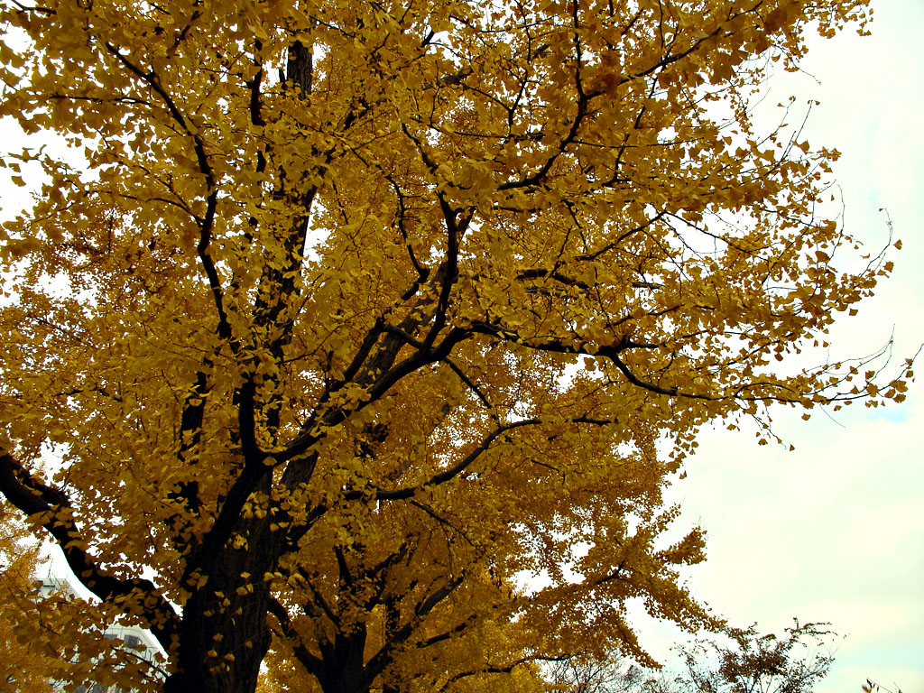 08122007_3_ginko.jpg