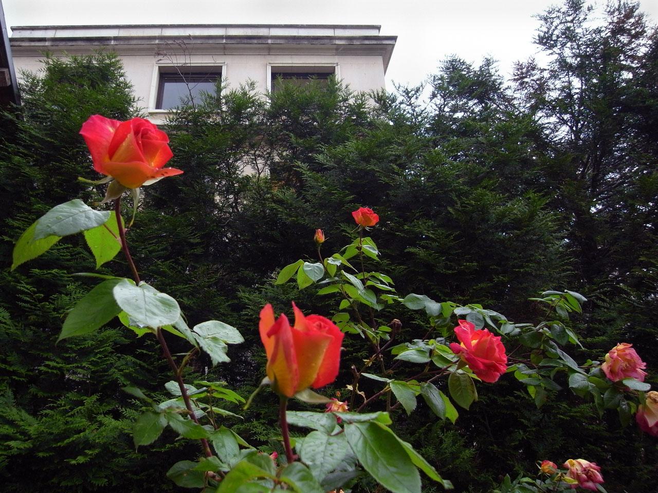iap-roses