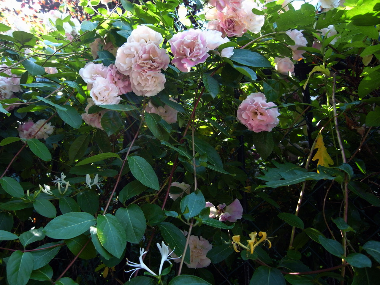 roses-chevrefeuille
