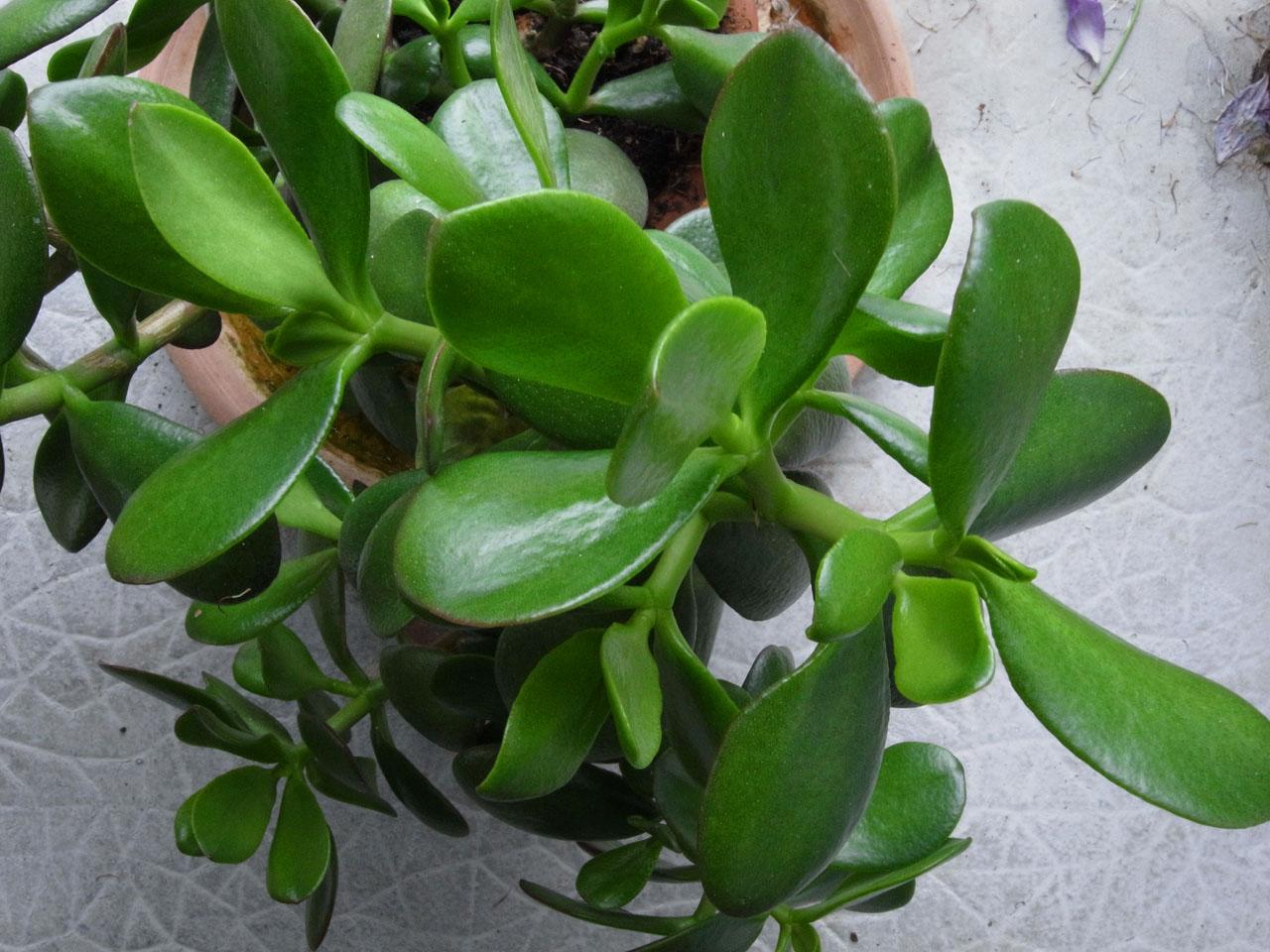 Jlggbblog2 belles plantes for Plante caoutchouc