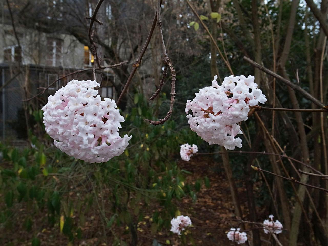 Jlggbblog3 en plein hiver un arbuste sans feuilles mais avec des bouquets de fleurs odorantes - Arbuste fleurs blanches odorantes ...