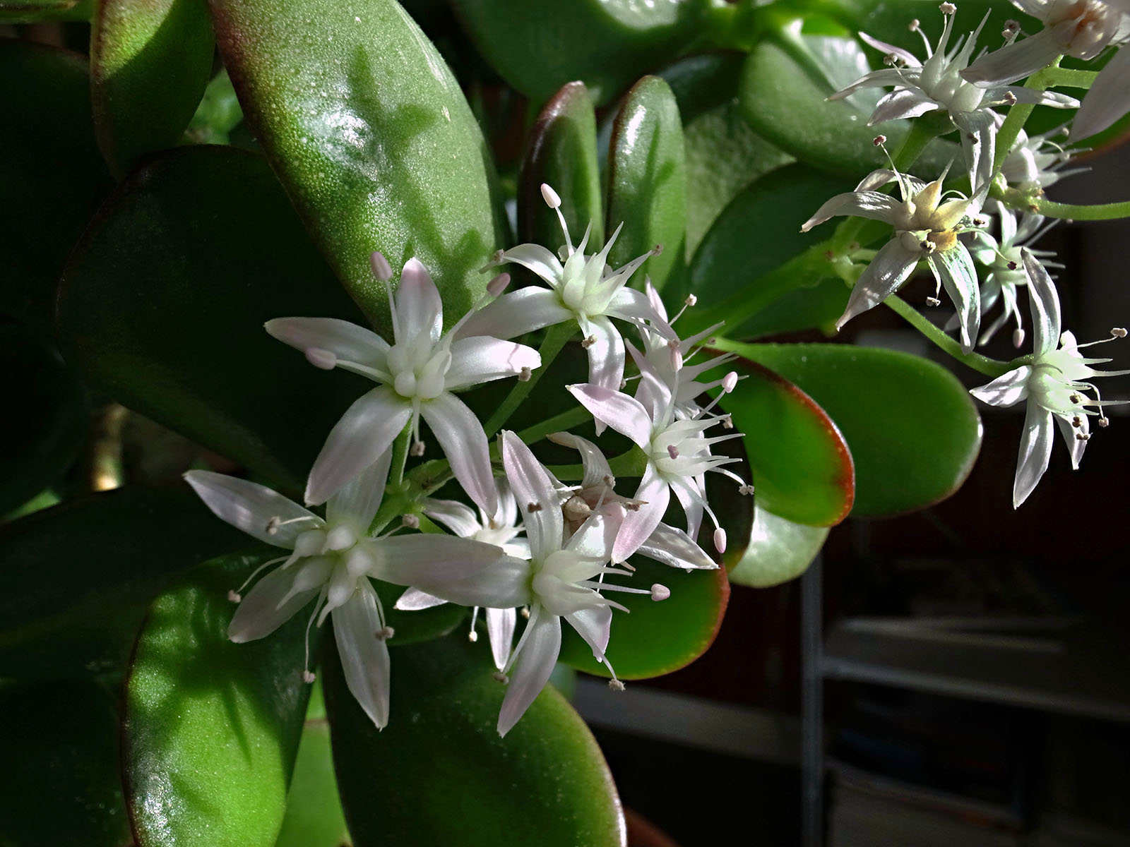 crassula-fleurs-isaline-new