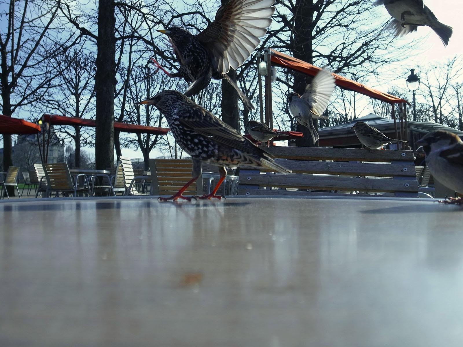 oiseaux-tuileries-large