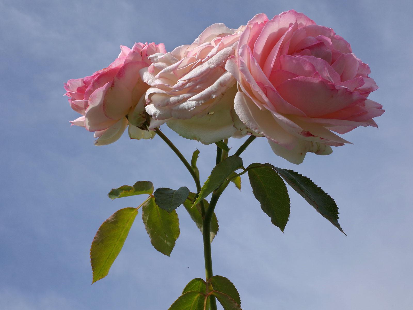 roses aix