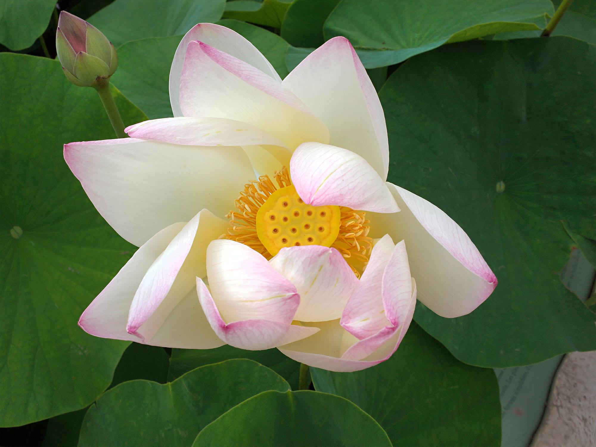 lotus ter jdp 2014